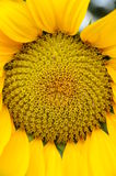 Closeup of sunflower Stock Images