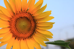 Closeup sunflower. In the garden Stock Photos