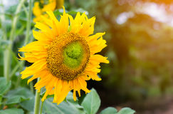 Closeup sunflower Stock Photography