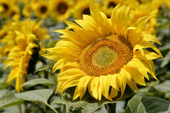Closeup sunflower Royalty Free Stock Photos