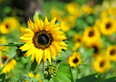 Closeup of Sunflower Royalty Free Stock Image