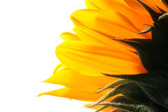 Closeup sunflower petals Stock Photography