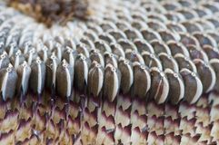 Closeup of sunflower seeds Royalty Free Stock Photos