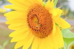 Closeup sunflower single and bee Stock Photos