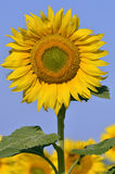 Closeup sunflower Stock Photography