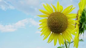 Closeup of sunflower on the sky background. Blooming sunflower on farmfield. Summer shiny scene with agricultural plants stock video footage