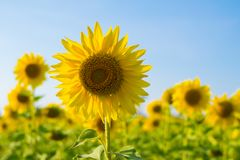 closeup sunflower on sunflowers field Stock Photography