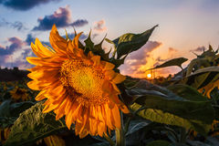 Closeup of Sunflower at sunset. Closeup of sunflower in the field facing away from the setting sun royalty free stock photos