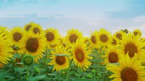 Closeup of sunflower on the sunset sky background. Blooming sunflower on farmfield. Summer shiny scene with agricultural stock video footage