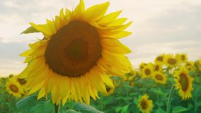 Closeup of sunflower on the sunset sky background. Blooming sunflower on farmfield. Summer shiny scene with agricultural stock video