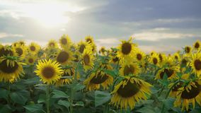 Closeup of sunflower on the sunset sky background. Blooming sunflower on farmfield. Summer shiny scene with agricultural stock footage
