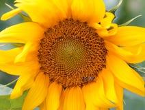 Closeup sunflower and working bee Stock Photo