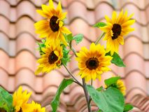 Closeup of sunflowers. Beautiful yellow sunflowers with unfocused roof tales Stock Photo
