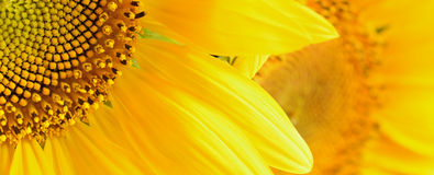 Closeup of sunflowers Royalty Free Stock Photo