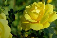 Closeup sunny yellow rose flower petals stock photos