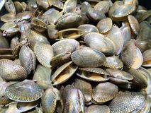 Closeup Surf clam, Short necked clam, Carpet clam, Venus shell, Baby clam shell Stock Images