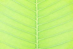 Closeup surface abstract pattern at fresh green leaf of tree textured background Royalty Free Stock Photo