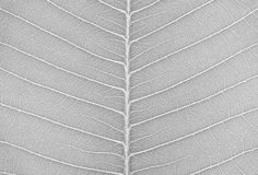 Closeup surface abstract pattern at the fresh leaf textured background in black and white tone Stock Photos
