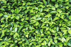Free Closeup Surface Green Leaves Of Plant In The Garden Textured Background Royalty Free Stock Photo - 116554535