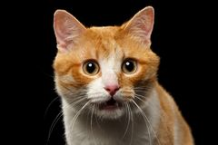 Closeup Surprised Ginger Cat with opened Mouth on Black Stock Image