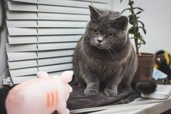 Closeup Surprised Maine Coon cat stock photo