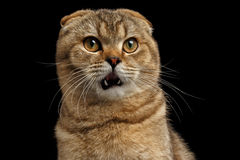 Closeup Surprised Scottish fold Cat looks questioningly on Black. Closeup Portrait of Surprised Scottish fold Cat with Opened Mouth looks questioningly on Black royalty free stock photos