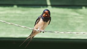 Closeup of the swallow on the wire in UHD