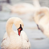Closeup of swan in a sunset light Royalty Free Stock Photo