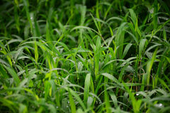 Closeup sward grass background. Or decorative grass Royalty Free Stock Photography
