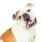 Closeup Sweet Bulldog Tilting Head Royalty Free Stock Photo