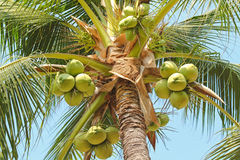 Closeup of sweet coconut palm tree with many young fruit Royalty Free Stock Photos