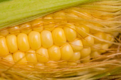Closeup sweet corn cob in peel Royalty Free Stock Photos