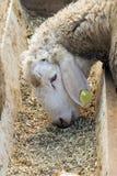 Closeup of a sweet lamb Royalty Free Stock Image