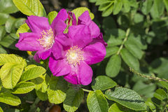 Closeup of sweetbrier flowers Stock Images