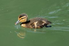 Closeup of a swimming Mallard duckling. Close up view of a mallard duckling swimming in green water in sunshine Stock Photography