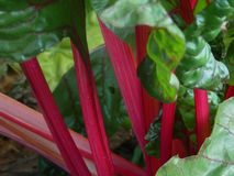 Closeup of Swiss Chard Stalks. Closeup of bright pink stalks of Swiss Chard or Mangold royalty free stock image