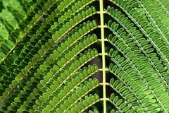 Green plant leaf symmetry closeup. Closeup on symmetry in a green mimosa leaf Royalty Free Stock Images