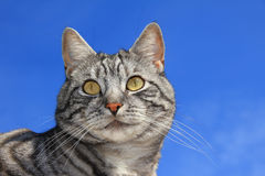 Closeup of a tabby cat, against blue sky Royalty Free Stock Photo