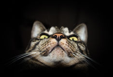Closeup of tabby cat face isolated on black background Royalty Free Stock Image