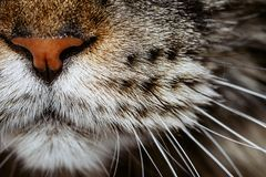 Closeup of tabby cat face. Macro. Black and grey tabby Maine coon cat`s nose and whiskers closeup, selective focus, macro royalty free stock image