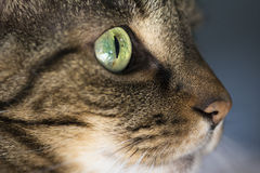 Closeup of Tabby Cat Face Profile Stock Photo