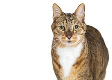 Closeup Tabby Cat Looking into Camera. Closeup photo of a beautiful brown and white tabby cat looking at the camera over white with copy space Royalty Free Stock Photos