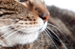 Closeup of tabby cat nose. Macro image of the nose of a tabby cat Royalty Free Stock Images