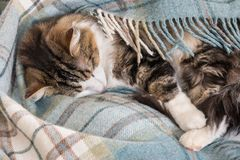 Tabby cat sleeping under blue tartan blanket royalty free stock photography