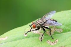 Closeup of tachina fly Royalty Free Stock Images