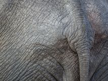 Closeup of tail of African elephant with wrinkly grey skin and nice texture, Botswana, Africa Stock Photos