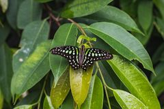 Closeup of a tailed jay butterfly or graphium agamemnon on a lea stock photography