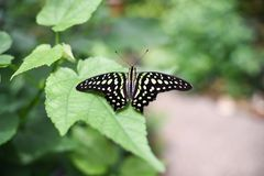 Closeup of a tailed jay butterfly or graphium agamemnon stock photo