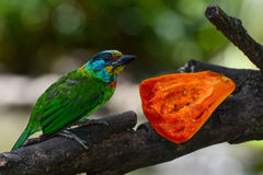 Closeup of a Taiwan barbet, or Psilopogon nuchalis, enjoying a papaya fruit Stock Images