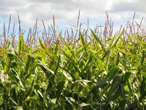 Closeup of tall straight green corn stalks against blue and wh. Corn growing in a farm field, tall, showing the tassel on top, grows to 7-10 feet tall. Used to Royalty Free Stock Photo